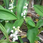 Lily-of-the-valley flowers in a garden.