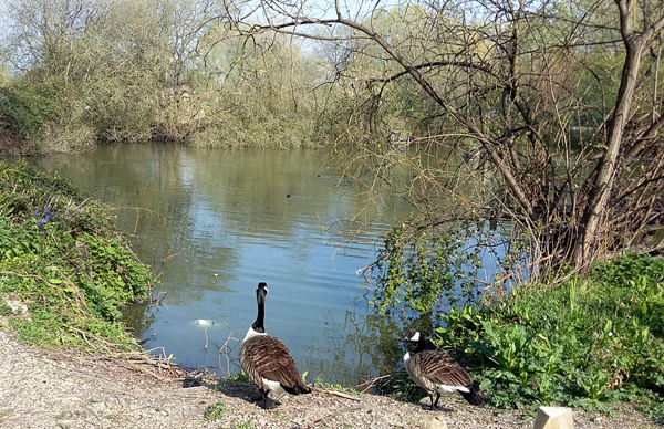 Two Canada geese standing at the edge of a small lake.